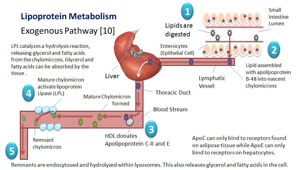 Lipoprotein Metabolism, An Overview of Lipoproteins